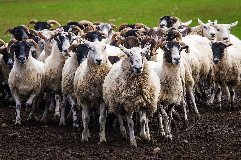 a herd of white sheep